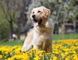Golden-Retriever-Labrador-behang-XXXL