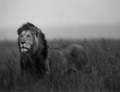 Leeuw behang XXXL (zwart/wit)